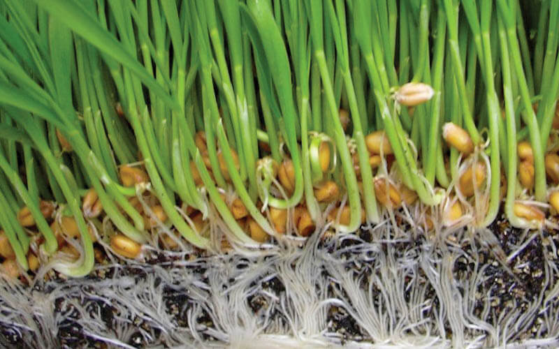 Close of roots of a hydroponic crop.