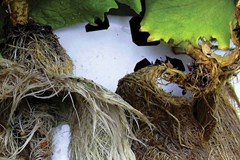 How can I tell if the biofilm in my hydroponic system is beneficial?