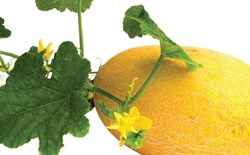 What types of nutrients do hydroponic melons require?
