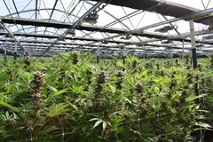 Commercial cannabis greenhouse