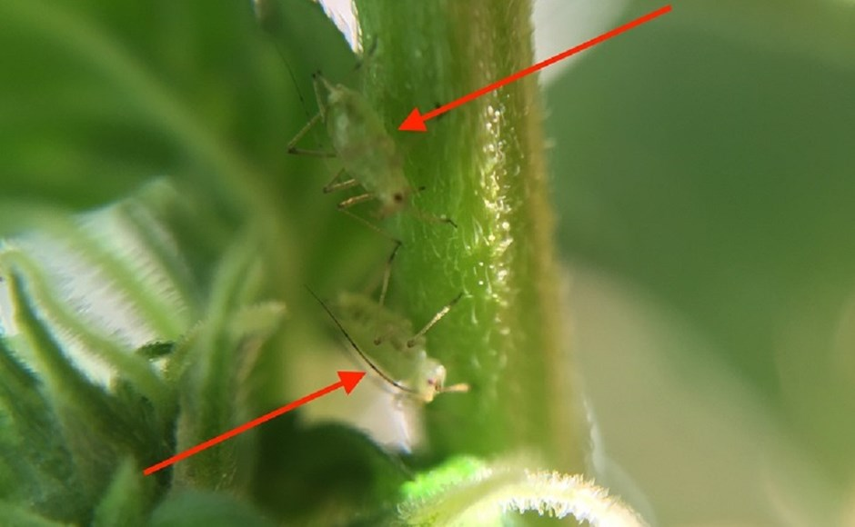 11 Common Pests That Can Destroy Your Cannabis Crop