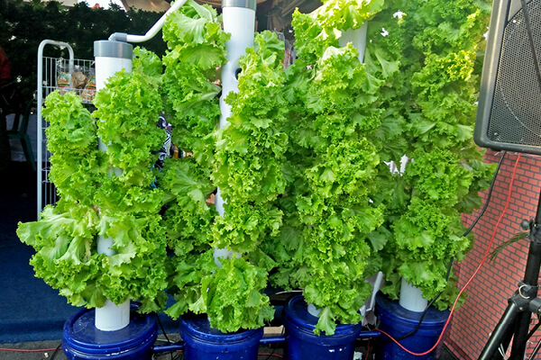 Lettuce plants grown using a hydroponic system vertically