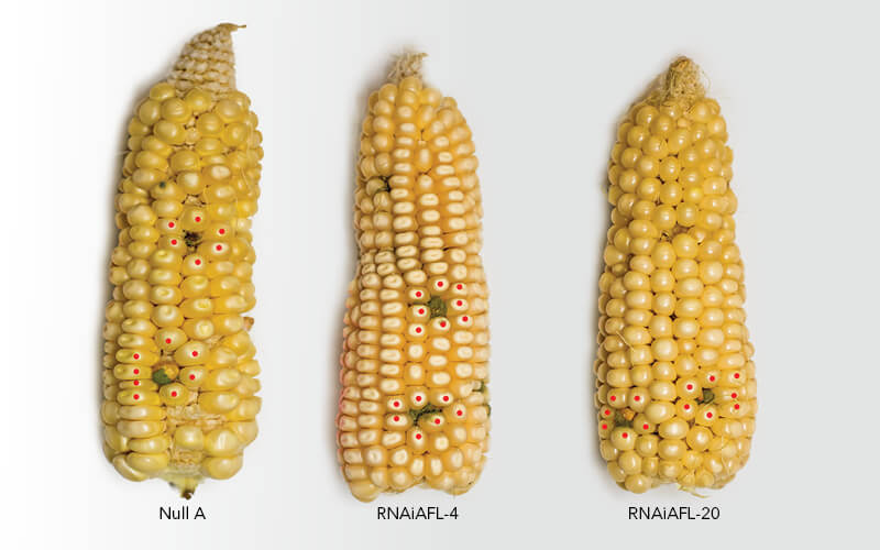 comparison of corn infected with fungi