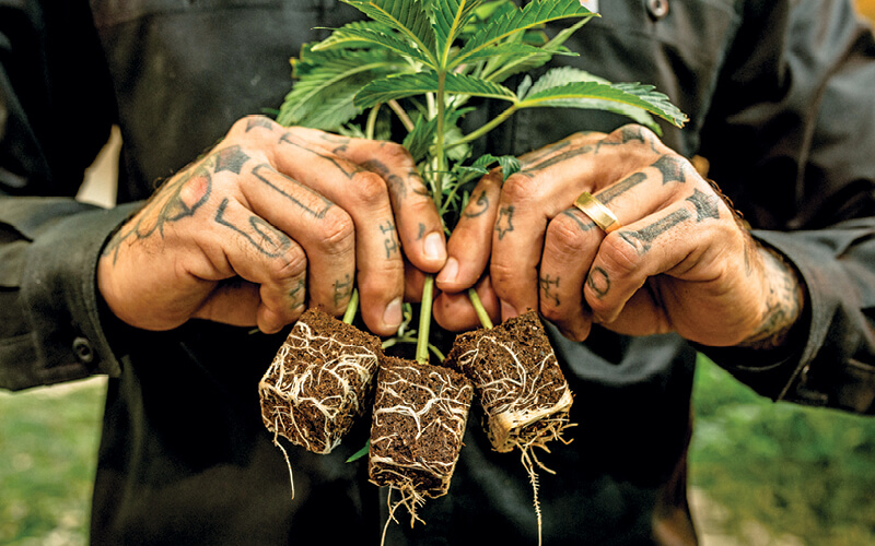 ihort employee showing off cannabis root growth in a seedling plug