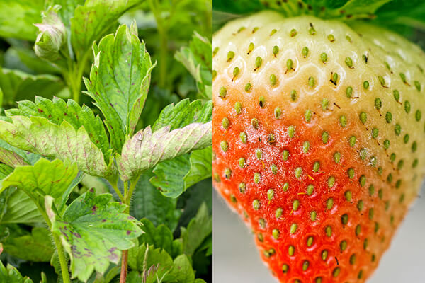 Powdery mildew on strawberry leaves and ripening strawberry