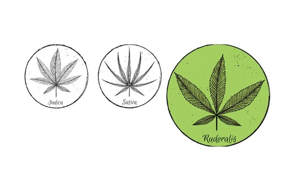 Indica and Sativa's Lesser-Known Little Sister: Cannabis Ruderalis