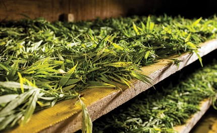 Is Curing Cannabis Always Necessary?