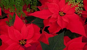 Kreations Indoor Gardening Center Company directory retailers how to care for your holiday poinsettia year round workwithnaturefo