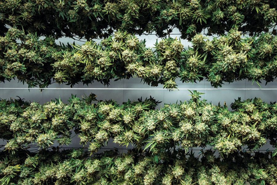 Drying Weed: 4 Tips to Properly Dry Your Cannabis