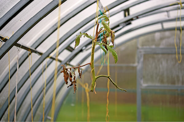 Remnants of old tomato plant in greenhouse