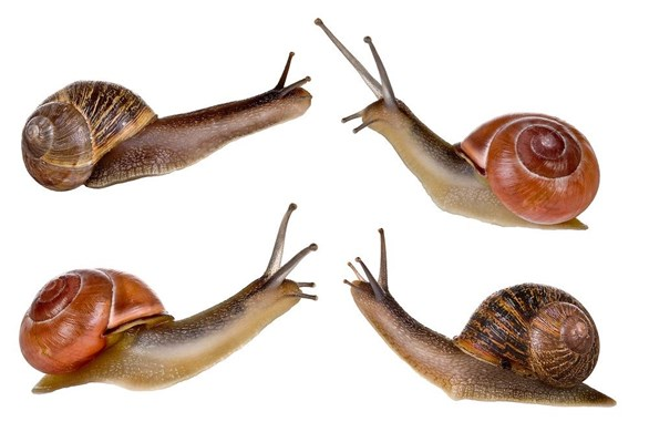 Snails: Pest, Predator and Food