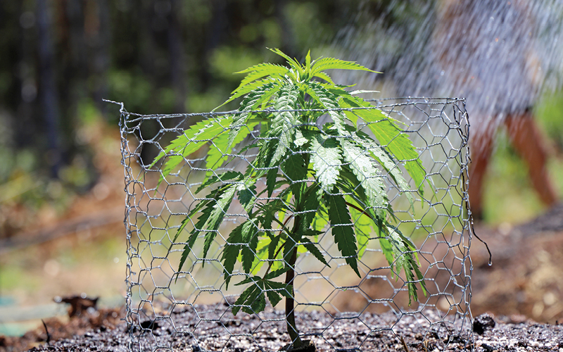 Outdoor cannabis plant with protective chicken wire frame.