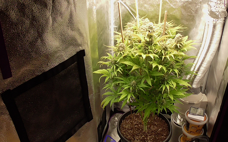 Cannabis plant in a grow tent