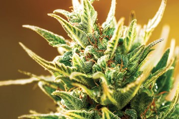 Essential Nutrients for Growing Cannabis