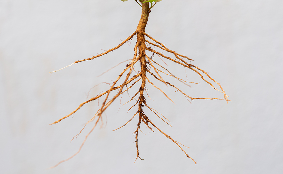 Taproot system of a plant.