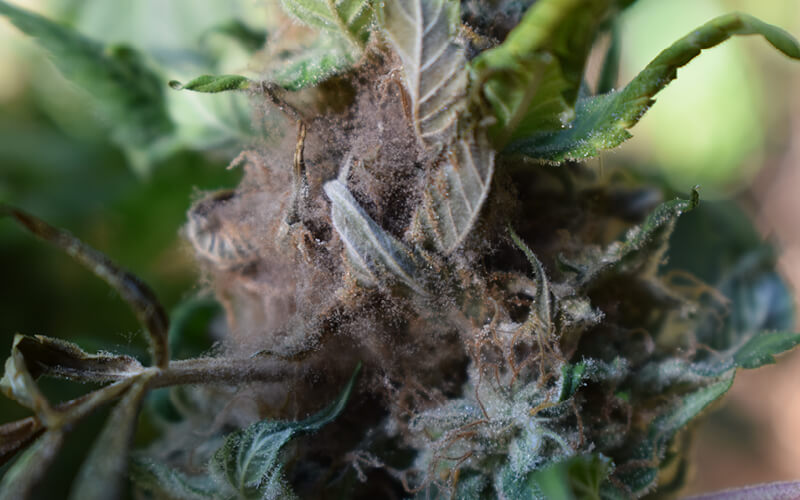 Cannabis plant infected with mold known as bud rot.