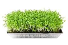 Enjoy Fresh Sprouts and Microgreens in the Winter