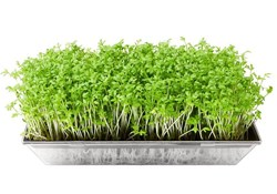 The Micro Revolution: Growing Hydroponic Microgreens