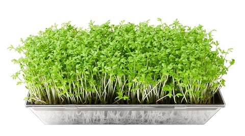 With just days between seed germination and harvest for many varieties and ideal for small spaces, microgreens are increasing in popularity...