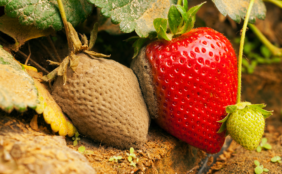Strawberries infected with Botrytis
