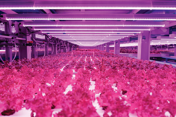 Badia Farms in Dubai, United Arab Emirates, the first vertical farm for the region, shows plants growing in coir under LED lights