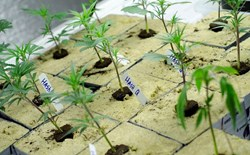 The Easiest Way to Clone a Cannabis Plant and Grow Mother Plants