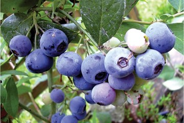 How to Grow 4 Types of Berries Hydroponically