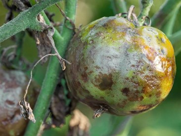 How to Get Rid of Aphids, Brown Fungus, and Early Blight