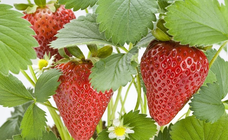 Grow the Best Strawberries