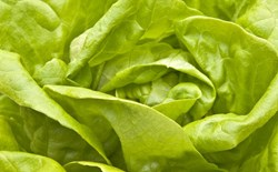 How To Grow Your Own Hydroponic Lettuce Year-Round