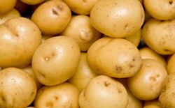 Can you grow potatoes hydroponically?