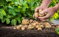 How to Sprout Seed Potatoes