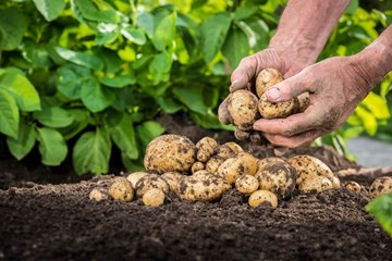 Eating the Hand that Feeds You: Rhizophagy and Plant Nutrition
