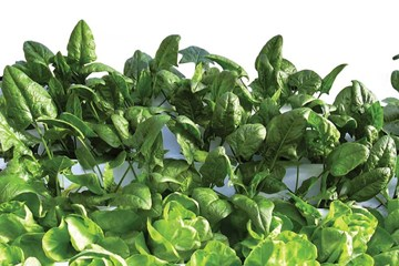 Tips for Growing Spinach, Endive, and Chard Using Hydroponics