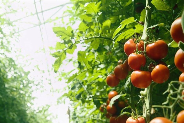 Maintaining Consistency With a Greenhouse Ventilation System