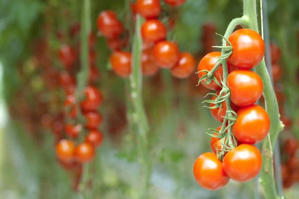 Train Your Tomatoes: 6 Crop Manipulation Tips for Improved Yields