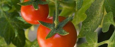 17 Tips for Growing Your Own Tomatoes