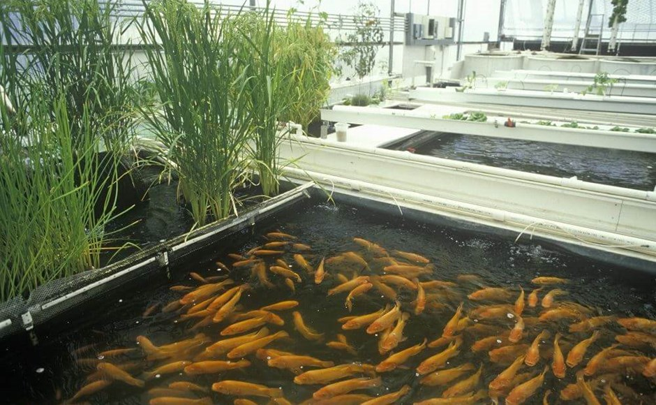 Managing ph in aquaponic systems for Hydroponic garden with fish
