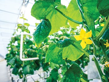 My cucumber plants are producing a ton of flowers. Should I pinch them off?