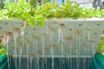 Maintaining Healthy Hydroponic Root Systems
