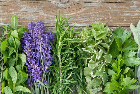 Making Herbs Bigger Through Pinching and Harvesting