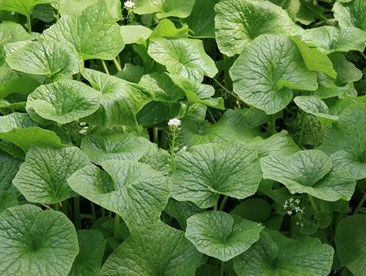 What is the recommended color temperature for growing wasabi?