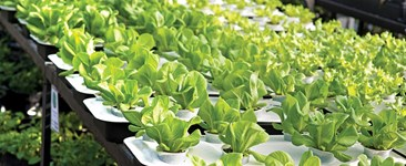 Grow Lettuce Indoors All Winter