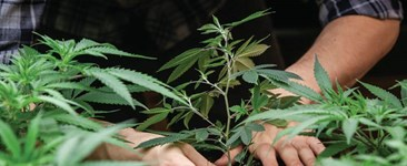 Grams Per Day: Determining Cannabis Yield Success by Weight