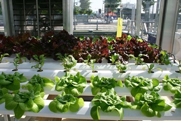 Hydroponics: Pros and Cons of Hydroponic Gardening