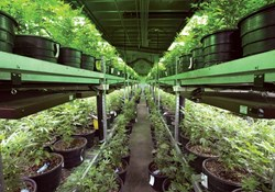 The Secret to Starting a Successful Commercial Cannabis Enterprise