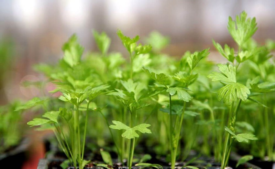 How to Grow Celery