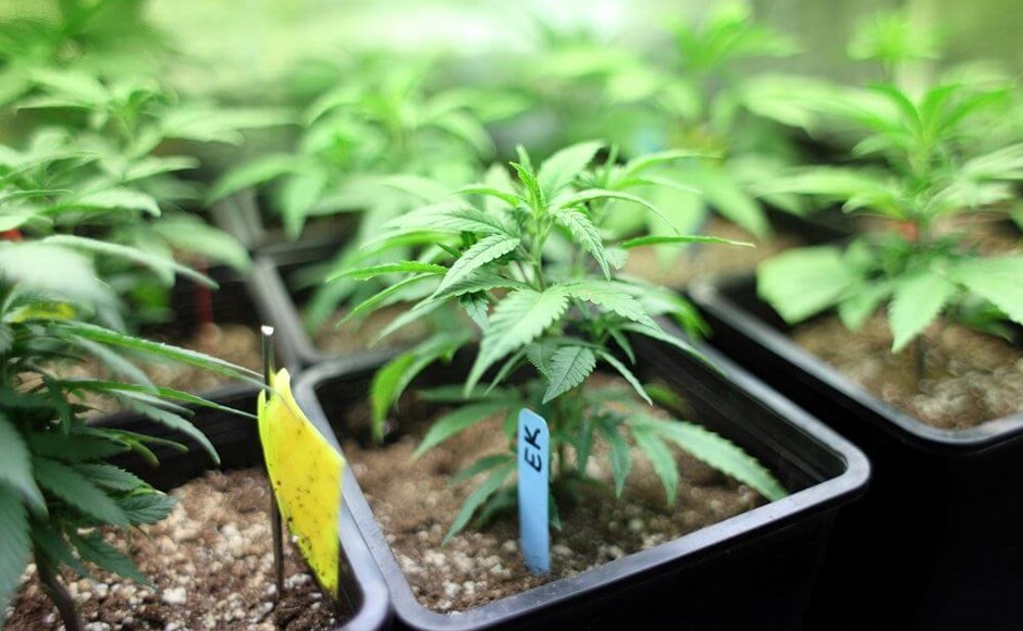 Growing Your Own Cannabis? Don't Forget These 3 Additives