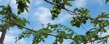 Things to Consider Before Growing Hops Hydroponically