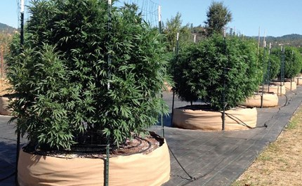 The Best Way to Trellis Outdoor Cannabis Plants